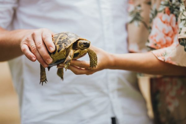 Close-up of a little turtle in the hands of the bridal couple.